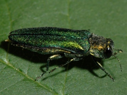 Emerald Ash Borer Remediation in Orono